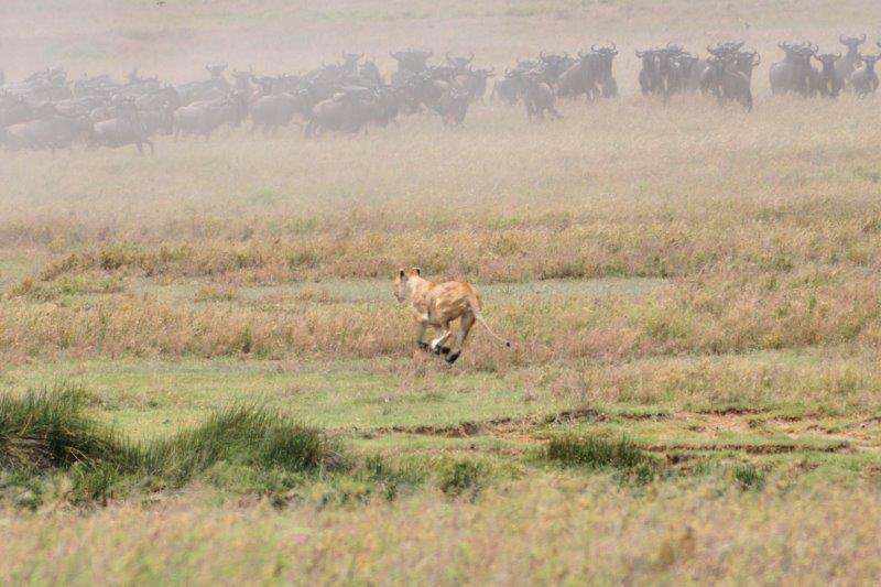 Lioness chasing the wildebeests