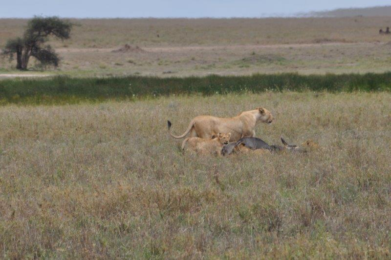 lioness and cubs with kill