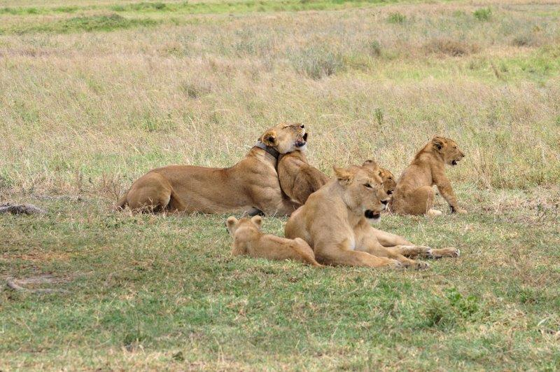 lionesses and cubs in field