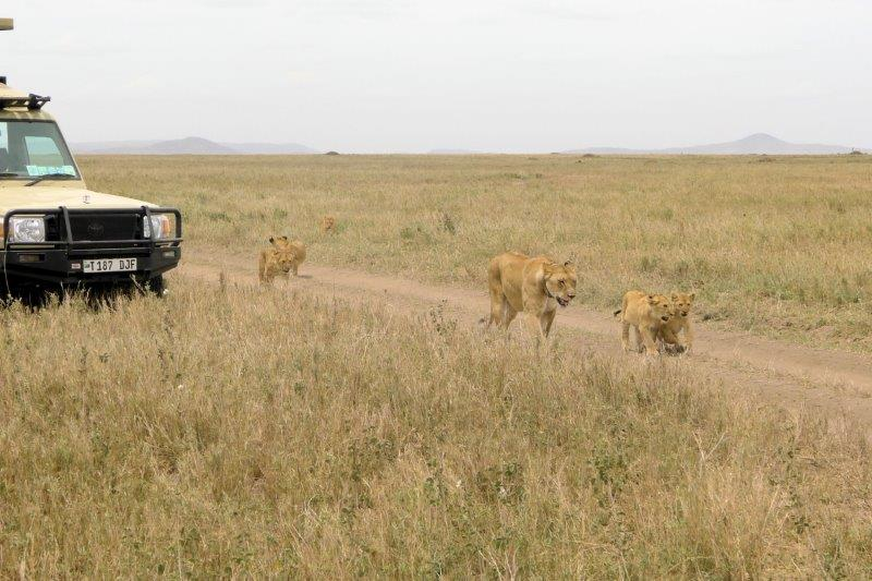 Lioness and cubs next to safari vehicls