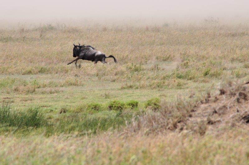 wildebeest running away