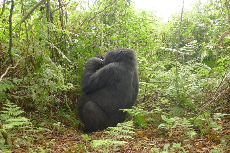 Gorilla on the trail