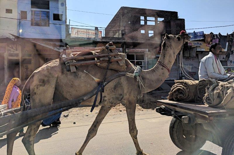 Camel on road