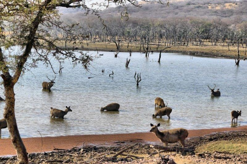 Sambar deer in the lake