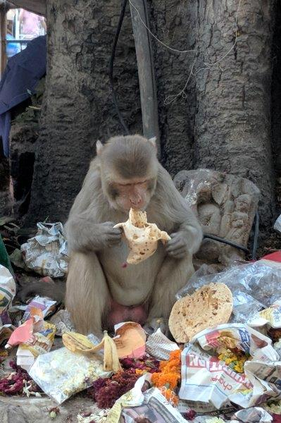 Monkey eating food