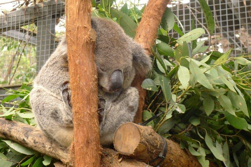 Koala Sleeping leaning on a branch.